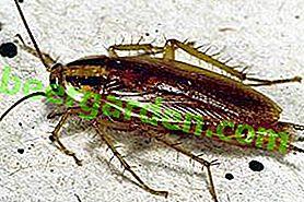 Description des espèces de blattes rouges: combien et où elles vivent, comment se reproduire, comment s'en débarrasser dans l'appartement