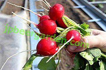 Как да изберем семена от репички?  Преглед на най-добрите сортове за засаждане у дома, в оранжерията и в откритата земя