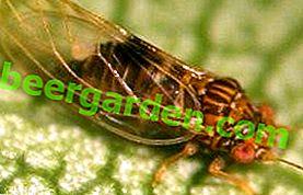 """""""Honig"""" Bedrohung, Blattfliegen und Tinnitus in Ihrem Garten"""