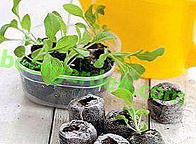 Méthodes de culture des plants d'aubergines dans un escargot, des comprimés de tourbe et sur du papier toilette: caractéristiques de plantation et soins appropriés pour chaque méthode