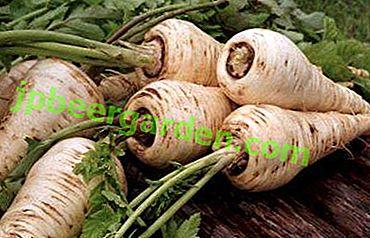 """Уникалните полезни свойства на пащърнак и употребата на """"бели моркови"""" в народната и официалната медицина"""