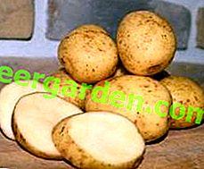 """Bellezza bielorussa - una descrizione di una varietà deliziosa e produttiva di patate """"Yanka"""""""
