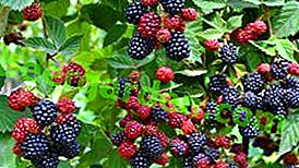 Jeżyna: rozmnażanie, sadzenie, pielęgnacja, użyteczne właściwości