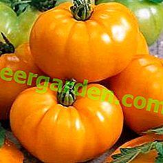 Рекомендації по вирощуванню томата «Жовтий гігант» і опис сорту