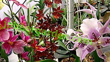 La merveilleuse orchidée Cumbria sur votre rebord de fenêtre.  Variétés et règles pour l'entretien des plantes à domicile