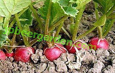 Tout ce que le sol aime les radis et comment rendre la terre adaptée à la culture de légumes