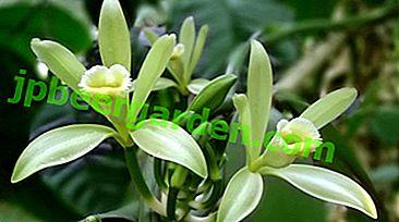 Délicate vanille d'orchidée.  Comment prendre soin de la plante à la maison?