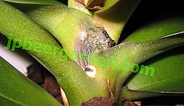 Warum verrotten Wurzel, Hals und Laub der Phalaenopsis-Orchidee und was tun, um die Pflanze zu retten?