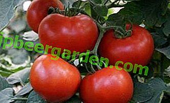 Facile à cultiver, à manger délicieux - tomates Sunrise F1: caractéristiques et description de la variété
