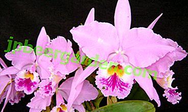 Orchidée coquine Cattleya.  Caractéristiques de la variété et des nuances de la culture