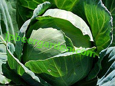 Опис сорте и фото купуса Мегатон Ф1.  Њега поврћа, репродукција и сузбијање болести