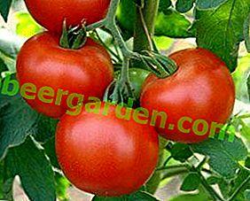 Улюбленець багатьох - томат «Дачник»: характеристика і опис сорту, фото