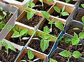 Tutte le sfumature della coltivazione del peperone dolce dai semi di casa: preparazione prima della semina e cura delle piantine