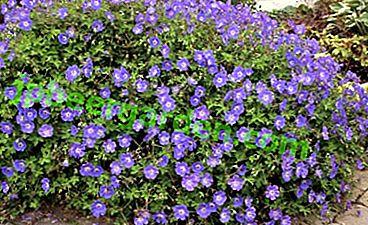 Морозостійка рослина - герань Розанна.  Основні правила посадки та догляду, а також фото квітки