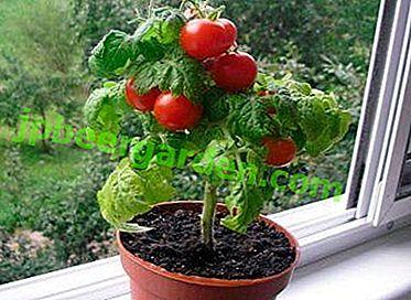 Leckere und duftende Tomate Pinocchio: Anweisungen zum Wachsen auf der Fensterbank sowie zur anschließenden Pflege