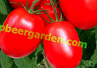 """Tomatensorte """"Rio Grande"""" - Gartenklassiker: Beschreibung und Eigenschaften der Tomatensorte"""