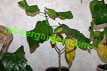 Що робити, якщо у гібіскуса сохнуть коріння, стебло або кінчики листя і чому виникли проблеми?