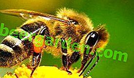 будова бджоли