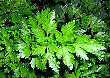 Pour aider les jardiniers.  Règles de plantation du persil foliaire en pleine terre