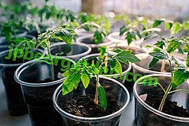 Як і чим удобрювати томати?  Перші і наступні підгодівлі для розсади помідорів