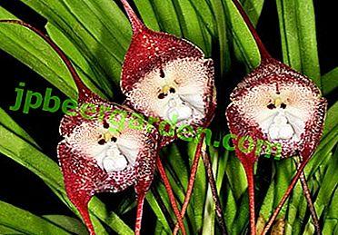 Прекрасна квітка - Дракула!  Детальна інформація про цей сорт орхідей і його фото