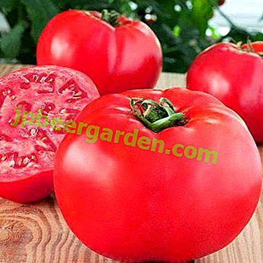 Tomates géantes aux framboises savoureuses et étonnantes: description de la variété, culture, photo de tomates