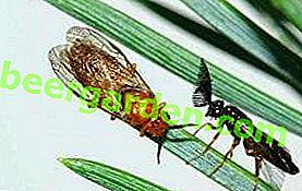 Kiefernsägeblatt: gewöhnliche und Ingwer-Holzfäller