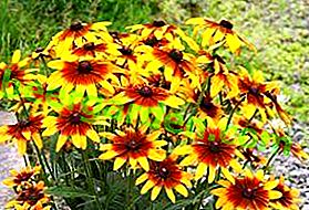 Рудбецкиа је сунчан и светао цвет било које баште