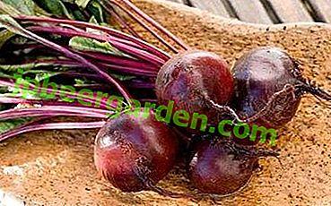 """Betteraves sans prétention des variétés précoces """"Vodan"""" F1.  Description, caractéristiques de la culture et de l'application"""
