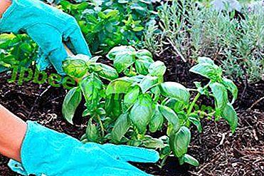 Conseils et instructions étape par étape sur la façon de planter du basilic à partir de semis.  Caractéristiques post-soins