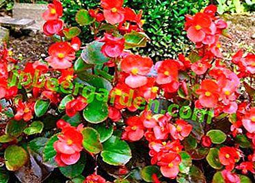 Instructions étape par étape pour la sélection d'un bégonias enracinant une plante d'intérieur