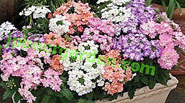 Podstawowe zasady sadzenia i pielęgnacji werbeny ze zdjęciem