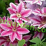 Clematide semina e cura dei fiori