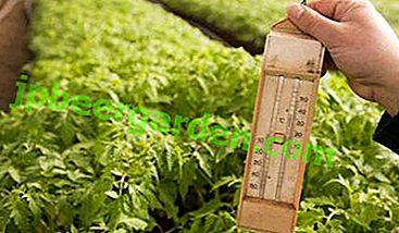 Für Gärtner ist es wichtig zu wissen: Bei welcher Temperatur ist es am besten, Tomatensämlinge zu züchten und zu säen?