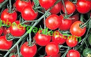 """Caractéristiques, caractéristiques, avantages de la variété de tomate """"Sweet bunch"""""""