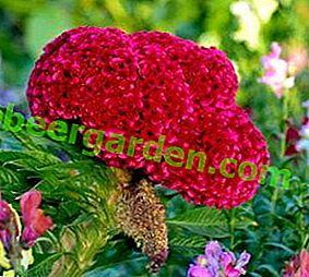 Вирощування ошатних квітів - целозія