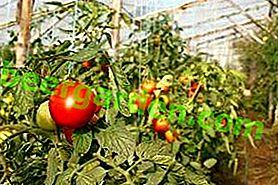 Coltivazione industriale di pomodori in serra come azienda: vantaggi e svantaggi
