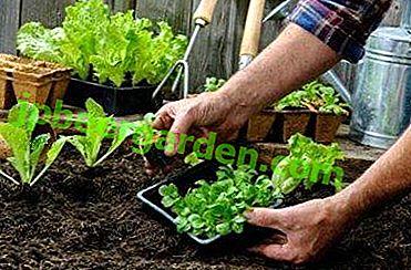 Особливості вирощування салату-латук - правила посадки та догляду, заходи боротьби з хворобами та шкідниками
