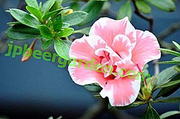 Azalée rose de beauté lumineuse - photos, description des variétés, caractéristiques de la culture