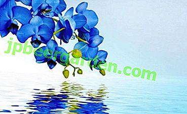 Wunderschöne blaue Orchideen: Woher kommen sie und wie pflegen sie?