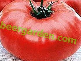 Eine wunderbare Tomatensorte Mikado: eine Beschreibung der Lieblingstomaten der Sommerbewohner