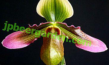 Reine des orchidées - variété Paphiopedilum!  Description de la fleur et sa photo