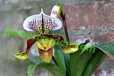 Венерин Черевичок - що це за орхідея і якого догляду вона вимагає?