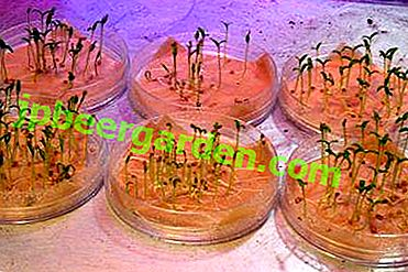 Особливості посадки пророщених насіння помідорів.  Як уникнути можливих помилок?