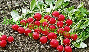 Багатий на вітаміни і мінерали овоч - редис Черріет F1.  Детальна характеристика та опис сорту