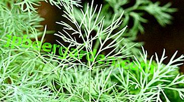 Зелень цілий рік.  Особливості вирощування кропу з насіння на підвіконні