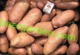 Перевірений часом картопля «Американка»: опис сорту, фото, характеристика