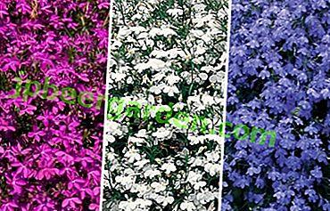 Tutto il fiorista deve sapere quando piantare lobelia sulle piantine, come prendersi cura e trapiantarlo nel terreno