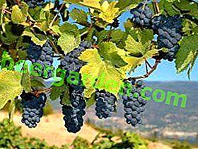 Cépages de vin
