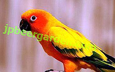 Dieta pappagallo: è possibile aneto e cosa accadrà se somministrato?
